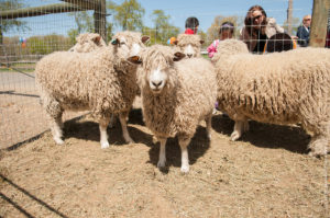 Sheep Shearing Festival @ Queens County Farm Museum | New York | United States