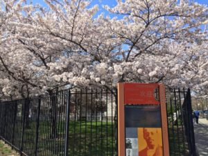 Flushing Cherry Blossom @ Lewis Latimer House Museum | New York | United States