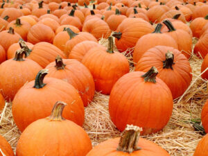 Queens Farm Pumpkin Patch @ Queens County Farm Museum | New York | United States